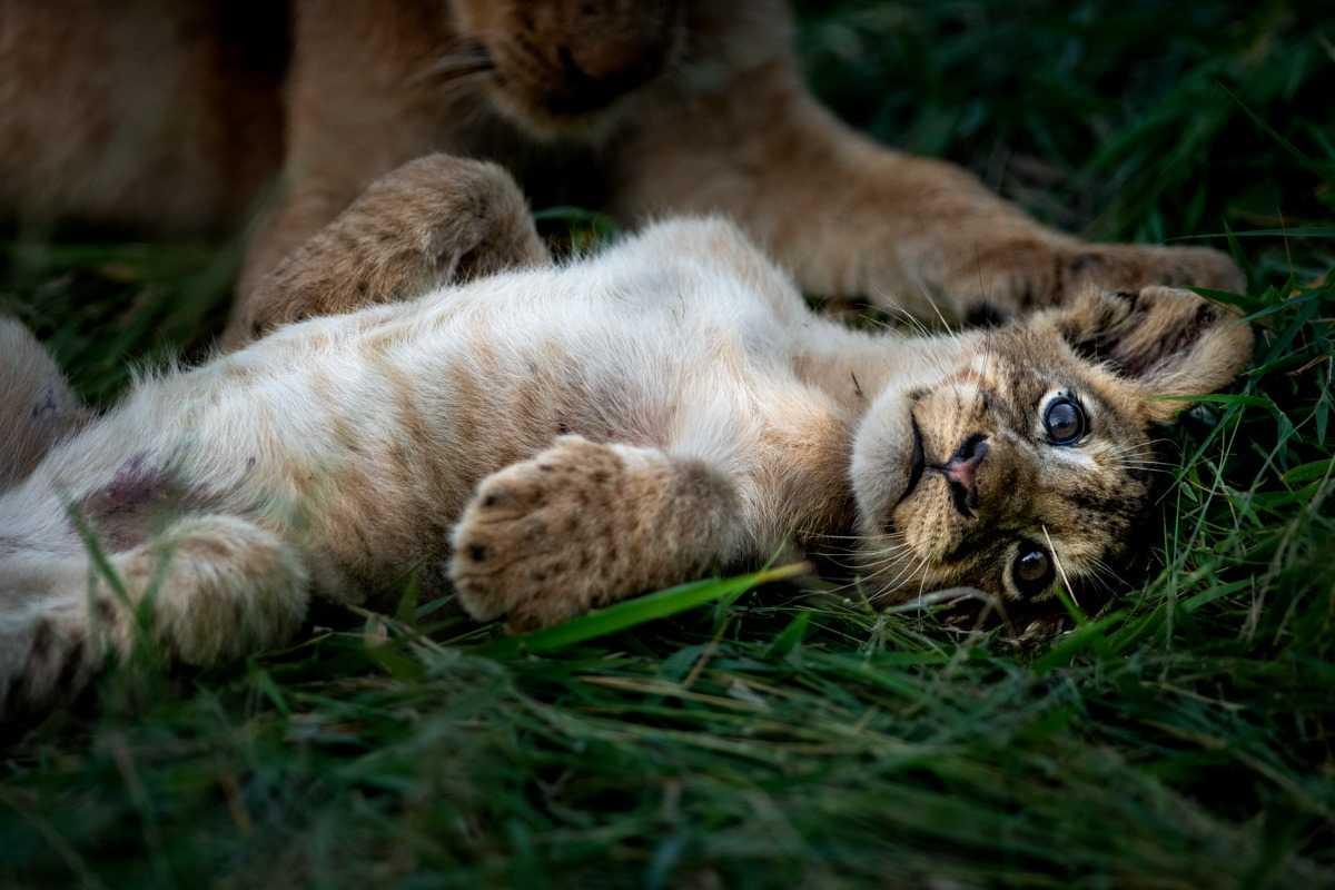 Singita baby tiger